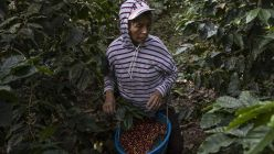 A Coffee Harvest As Guatemala's Crop Shrinks