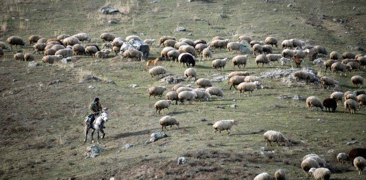 Un pastor conduce un rebaño de ovejas en el distrito de Lachin hacia la ciudad de Goris.