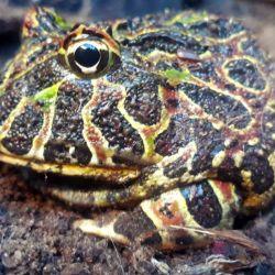 El escuerzo es un anfibio anuro que habita los pastizales templados de América del Sur.