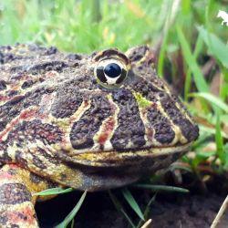 A la vista, se caracteriza por su gran tamaño a comparación de otros anfibios de la zona, con una boca muy grande y ojos sobresalientes parecidos a cuernos.