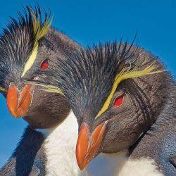 Los pingüinos penacho amarillo son la estrella de este viaje