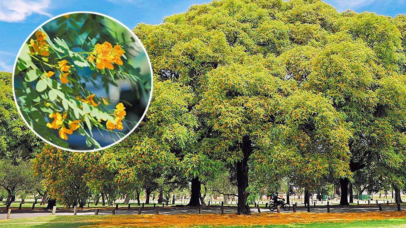 Urbano. Cerca de 15.000 tipas se encuentran plantadas en CABA.