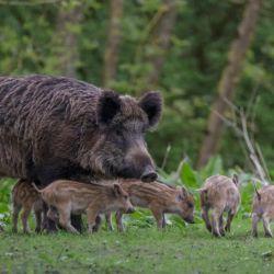 Finalmente, el Gobierno de Corrientes decidió autorizar la caza indiscriminada de jabalíes.