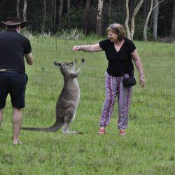El estudio sugiere que los canguros pueden ser tan inteligentes como los perros a la hora de comunicarse con los humanos.