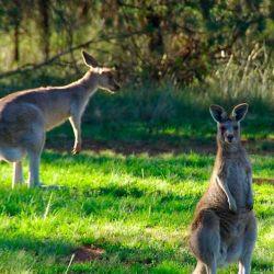 El estudio fue realizado sobre una muestra acotada de 11 canguros de distintas razas.