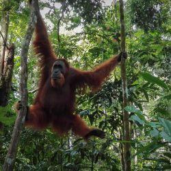 Los orangutanes son una de las tantas especies en extinción que más sufren la deforestación provocada por la producción del aceite de palma natural.