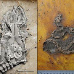 Se trata del mayor hallazgo de un fósil de esta clase de serpiente.