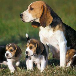A pesar de su tamaño y de su contextura gruesa los perros Beagle son sumamente cariñosos y juguetones.