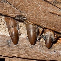 Sus dientes pudieron haberle sido útiles para atrapar presas pequeñas y resbaladizas, como el calamar.