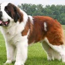 El cariño y fidelidad de los perros San Bernardo hacia sus dueños es proporcional a su tamaño.