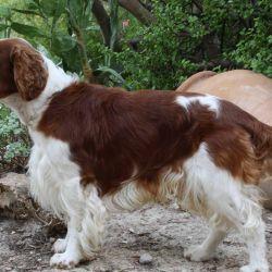 Generalmente utilizados para la caza, los Springer Spaniel son sumamente inteligentes, afectivos y leales.