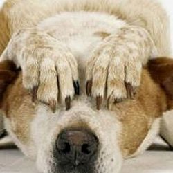 Las mascotas sufren mucho ante los ruidos provocados por los fuegos artificiales.