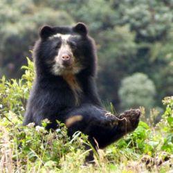 Debido a la cada vez mayor caza furtiva en Ecuador esta variedad de osos está en peligro de extinción.