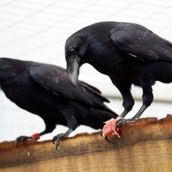 Según los investigadores, los cuervos son animales extremadamente inteligentes, tanto como los primates.