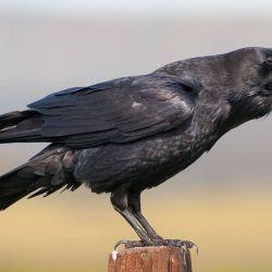 Incluso en sus primeros meses de vida, el cuervo cuenta con tipos de inteligencia equiparables a los de grandes simios adultos.