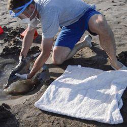 """Durante el último mes y medio fueron rescatados tres cachorros vivos de """"delfín franciscana"""" en las playas bonaerenses."""