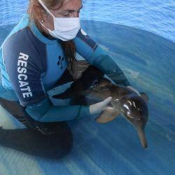 Ante la presencia de un delfín, ballena o lobo de mar, lo primero que deben hacer las personas es mantener al animal en poca agua.