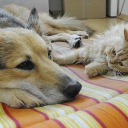 Si los temperamentos son compatibles, es posible que perro y gato compartan un hogar sin grandes rivalidades. Foto: Silke Heyer/dpa