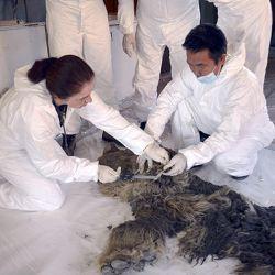 El gigantesco animal conservaba la mayoría de sus órganos en perfecto estado.
