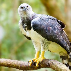 El águila arpía es una de las especies de águilas más grandes del planeta.