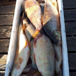 La pesca indiscriminada de bogas en Berisso puede llevar a la extinción de la especie en esta zona