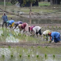 Los jornaleros plantan arbolitos de arroz en un campo en el distrito de Medak, a unos 60 km de Hyderabad. | Foto:Noah Seelam / AFP