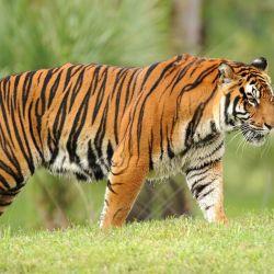 Lamentablemente,según cifras oficiales, solo quedan 3.400 tigres en tierras asiáticas, su principal hábitat natural.