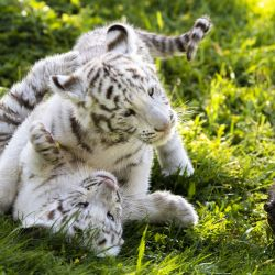 En el caso de los tigres blancos, sus rayas son marrones.