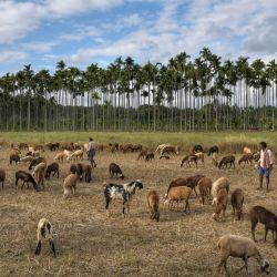 Pastores junto a su rebaño de ovejas en un campo en las afueras de Bangalore. | Foto:Manjunath Kiran / AFP