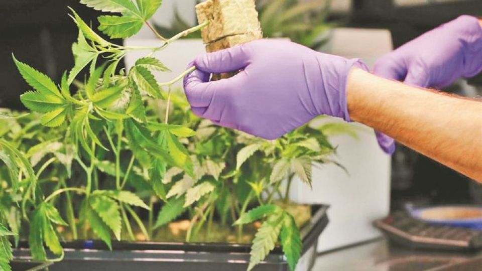 2021_01_10_cannabis_cedocperfil