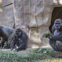 """Sospechan que los gorilas fueron infectados por """"un empleado asintomático"""""""