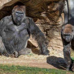 Los tres primates que dieron positivo de Covid-19 fueron puestos en cuarentena.
