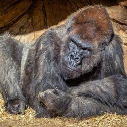 Se trata del primer caso conocido de transmisión natural a los grandes simios.