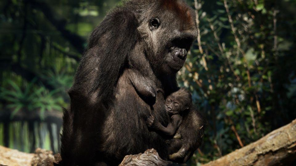 Los gorilas del zoo de San Diego fueron puestos en cuarentena.