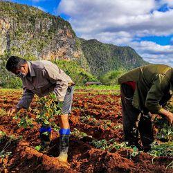 Agricultores cubanos trabajan en sus tierras en Viñales, provincia de Pinar del Río, Cuba. | Foto:Yamil Lage / AFP