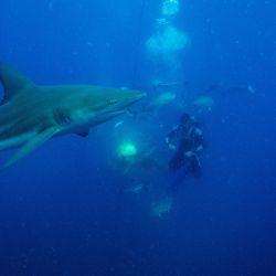 Gary Snodgrass agita un cebo de sardinas mientras buzos del Blue Ocean Dive Resort nada con tiburones de punta negra y otros peces durante una inmersión con tiburones cebados en Umkomaas cerca de Durban, Sudáfrica. | Foto:Michele Spatari / AFP
