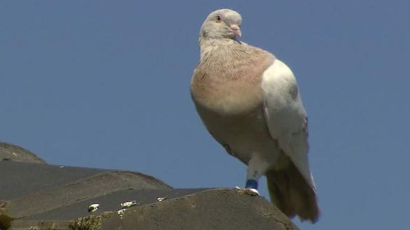 Australia quiere sacrificar una paloma por considerarla una amenaza para el país