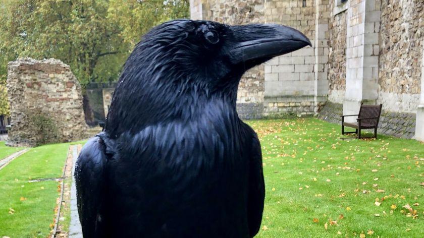Desaparece un cuervo de la Torre de Londres y tiembla la monarquía