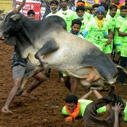 Un toro carga contra los participantes durante un festival anual de domesticación de toros 'Jallikattu' en la aldea de Palamedu, en las afueras de Madurai. | Foto:Arun Sankar / AFP