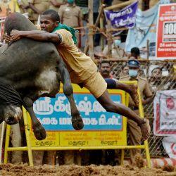 Un participante intenta controlar un toro durante un festival anual de domesticación de toros 'Jallikattu' en la aldea de Palamedu, en las afueras de Madurai. | Foto:Arun Sankar / AFP