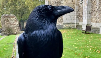 ¿Desaparece el Reino Unido? ausencia de un cuervo despertó temor por una vieja profecía