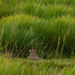 La familia de yaguaretés estaban en cautiverio en una reserva de los Esteros del Iberá.
