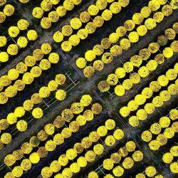 Esta fotografía aérea muestra flores en un campo en la aldea de flores de Sa Dec, el mayor proveedor de flores en la región del delta del Mekong, en el sur de Vietnam, antes de las celebraciones del Año Nuevo Lunar o Tet. | Foto:Manan Vatsyayana / AFP