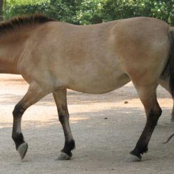 El caballo salvaje de Mongolia es una de las pocas especies en peligro de extinción que ha logrado incrementar su población.