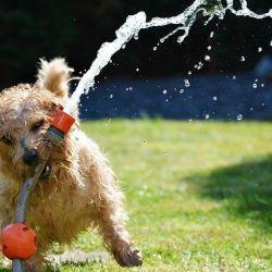 Es fundamental dejarles siempre agua fresca a mano para que se hidraten y refresquen.