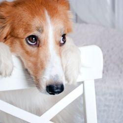 Hay que aumentar paulatinamente el tiempo en que tu perro permanece solo sin mostrar signos de ansiedad.