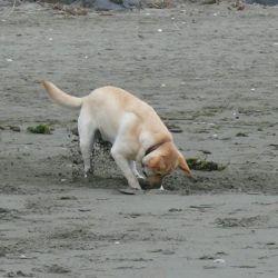 Los perros tienen un sentido del olfato aproximadamente de 10.000 a 100.000 veces más fuerte que el de los humanos.