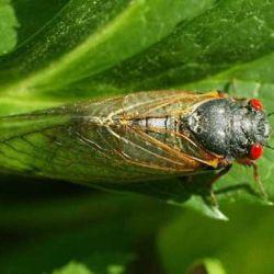 Estos ruidosos y dañinos insectos duran 17 años en estado de ninfas, bajo tierra.