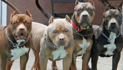 El pitbull es una de las razas con peor fama.