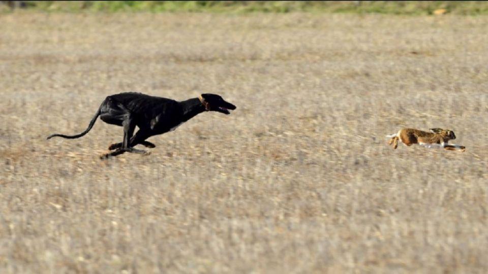 Proponen eliminar la caza con perros